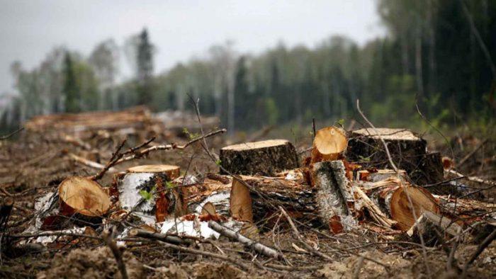 незаконный спил деревьев